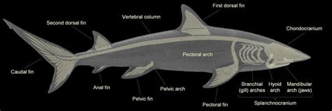 shark skeleton anatomy shark terminology tattoos