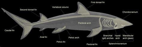 shark skeleton anatomy shark terminology tattoos