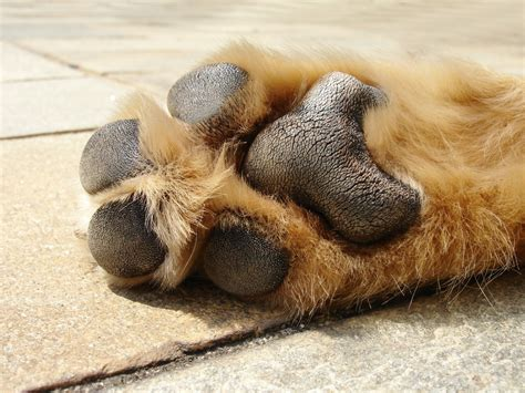 why do dogs put their paws on you this is what happens when the pavement is for your