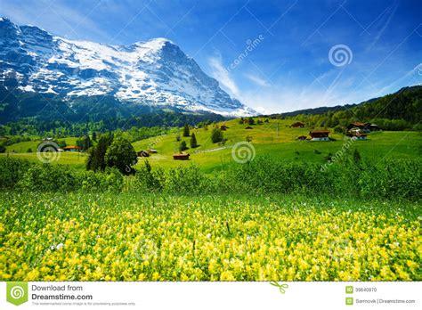 Yellow Landscape Pictures Yellow Flowers Field Beautiful Swiss Landscape Stock