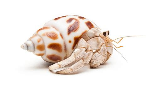 do hermit crabs need a heat l how to breed a pet hermit crab animals mom me