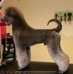 poodle cuts exles 1000 images about standard poodle grooms on pinterest