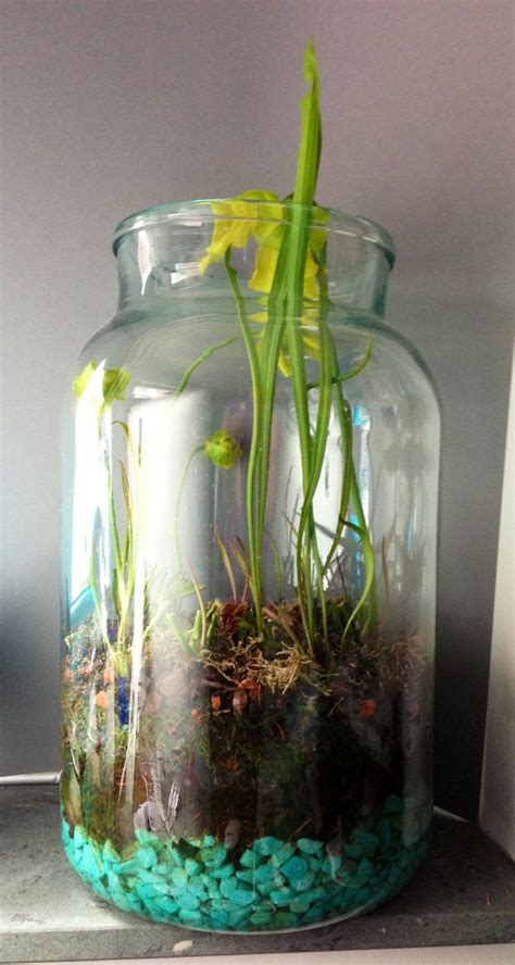 glass container gardening indoor bog garden in glass jar with pitcher plants and