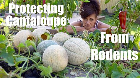 easy ways  protect cantaloupe melons  rodents
