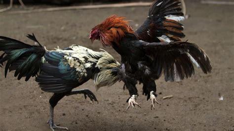 peleas de gallos mexicanos denuncian criadero ilegal de gallos de pelea vox populi slp