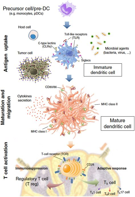 frontiers dendritic cell plasticity in frontiers dendritic cells a spot on sialic acid