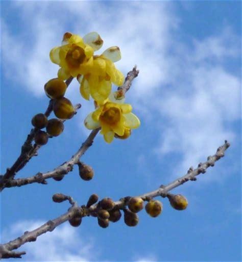 calicanto fiore giardinaggio coltivazione calicanto il fiore