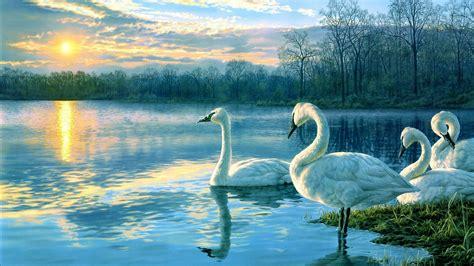 white swan  lake  sunshine wallpaper hd wallpapers