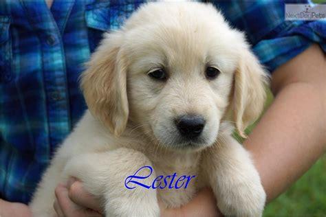golden retriever puppies for sale in dallas golden retriever puppy for sale near dallas fort worth 37d0db19 0771