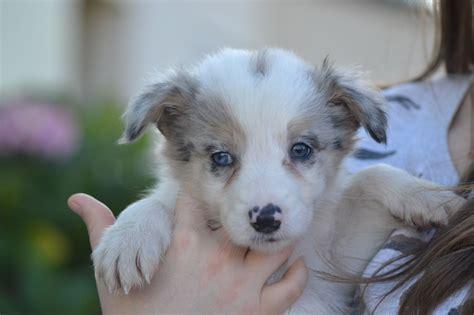 blue merle collie puppy blue merle border collie puppies