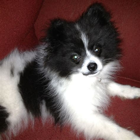 black and white pomeranian 17 best images about things that are fluffy and cuddly on chihuahuas