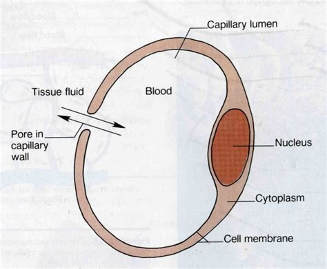 diagram of a capillary diagram blood flow circulation free engine
