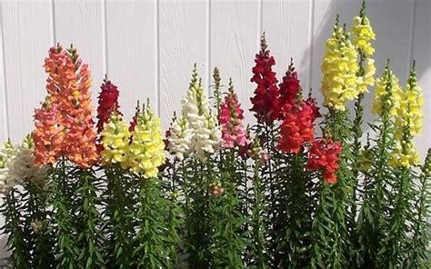 bocca di in vaso bocche di piante annuali caratteristiche delle
