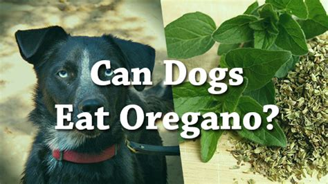 can dogs eat basil can dogs eat oregano pet consider