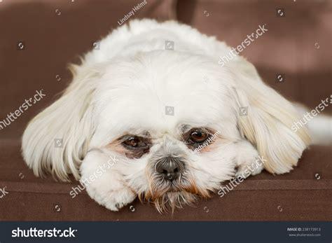 shih tzu sick white shih tzu on looking sad bored lonely sick depressed
