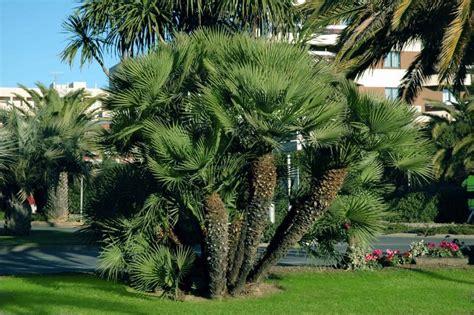 tipi di palme da giardino piante particolari da giardino le palme