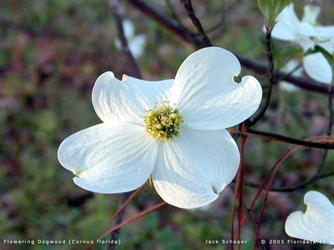 state flower of virginia dogwood state flower of virginia fifty states pinterest