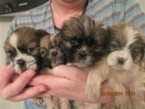 shih tzu puppies manchester shih tzu beautiful puppies manchester greater manchester pets4homes