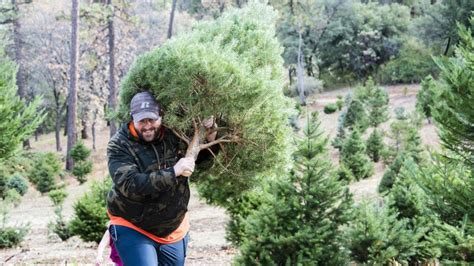 christmas tree farms in sacramento up the hill to a tree farm sacramento valley