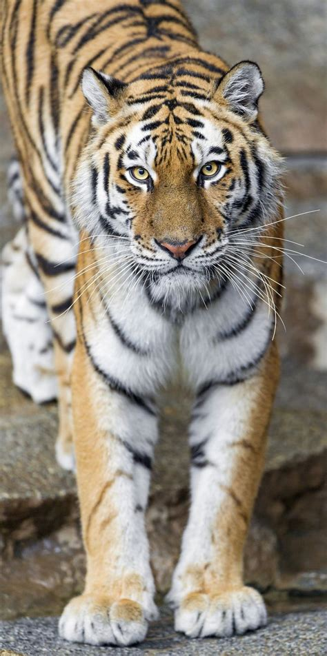 tiger rubber st 2853 best t i g e r s images on animals