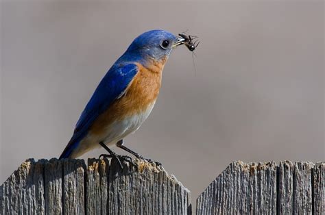 eastern bluebird audubon field guide