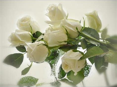 imagen de una hermosa rosa blanca para whatsapp im 225 genes de rosas rojas blancas azules negras ramos y