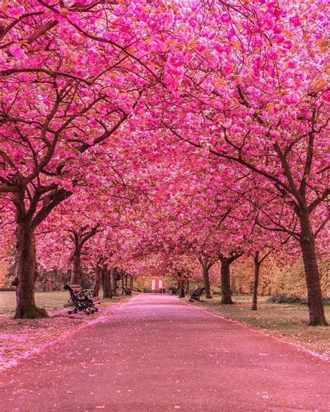 cherry bloosom tree best 20 pink trees ideas on landscaping trees