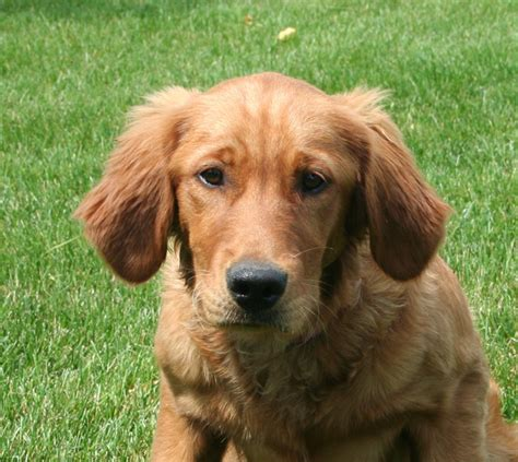 golden retriever mn breeders golden retriever puppies mn duluth breeds picture