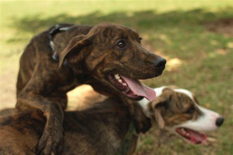 coyote hounds for sale wi plott hound kennel bobcat russian bear hound the best bear