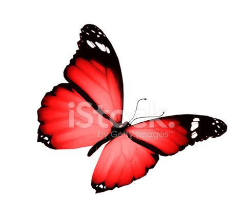 Gamis Buterfly Premium White Pasmina butterfly flying isolated on white background stock photos freeimages