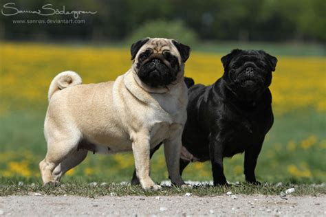 black and pug pug fawn and black by sannas on deviantart