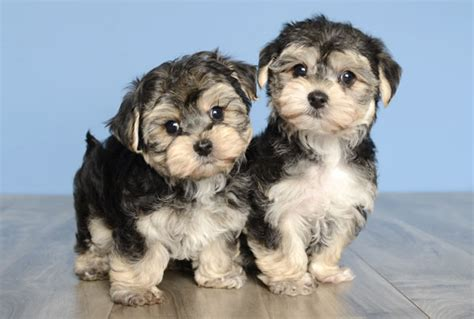 yorkie puppies orlando justpuppies net better puppies better prices better hurry