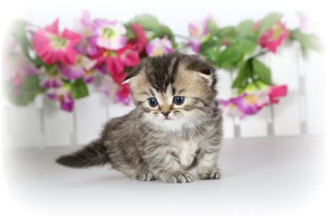 rug hugger cat teacup rug hugger kittenultra kittens for sale 660 292 2222 located in