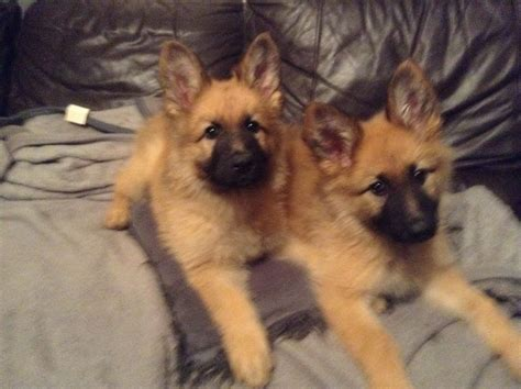 puppy gold to gold german shepherd puppies orpington kent pets4homes