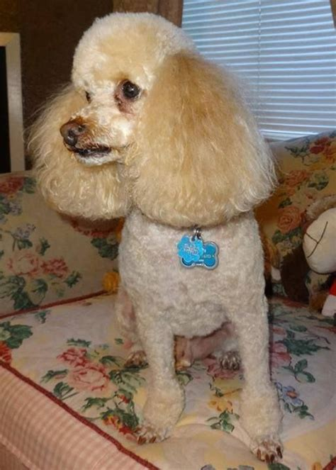 1000 images about doggy doos on pinterest poodles shih 1000 images about poodle cuts on pinterest poodles