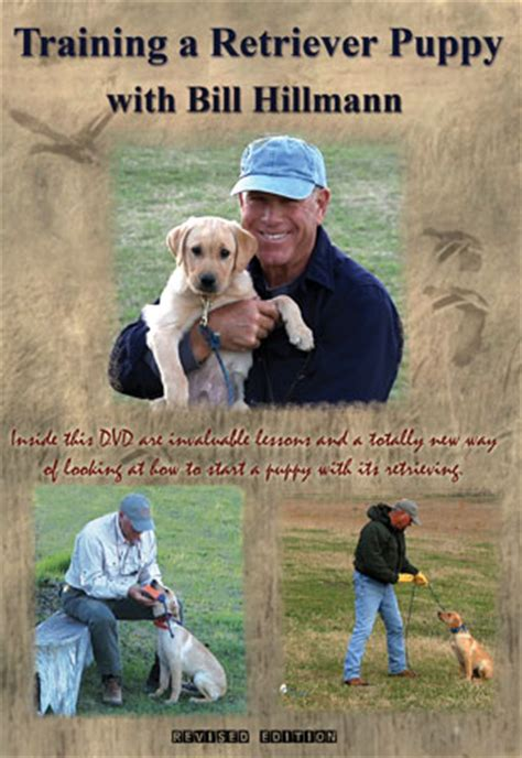 golden retriever puppy age progression labrador retriever puppy hawkeyemedia