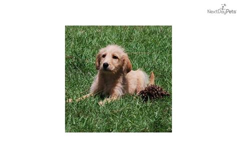 Best Dogs For No Shedding by Meet Kate A Labradoodle Puppy For Sale For