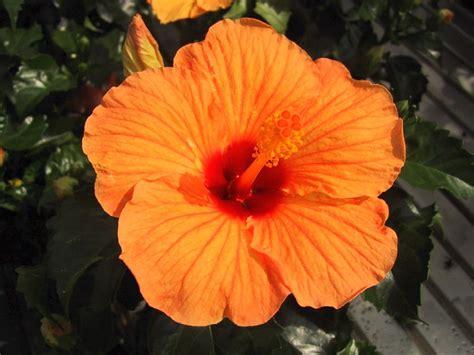 fiori arancio sfondi per lo schermo fiori di giardino arancio