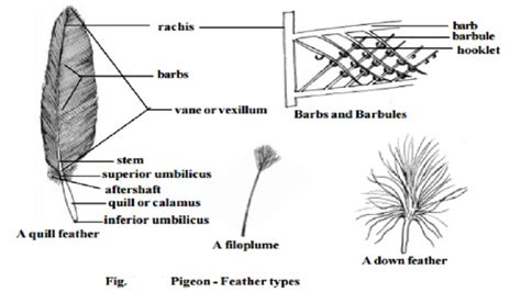 feather diagram pigeon exoskeleton quill feather study material