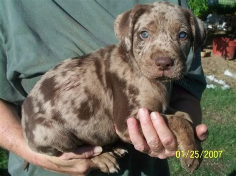 labahoula puppies for sale 17 best images about catahoula leopard dogs on great dane puppies