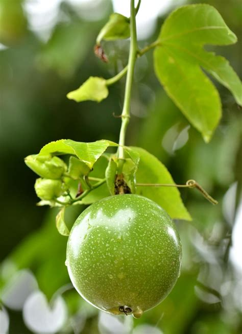 how to prune fruit trees 13 best images about grow assess fruit on