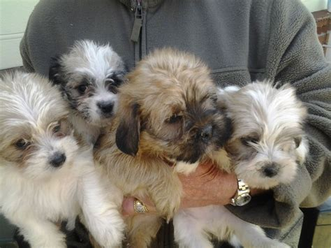lhasa apso yorkie cross pedigree lhasa apso breeds picture