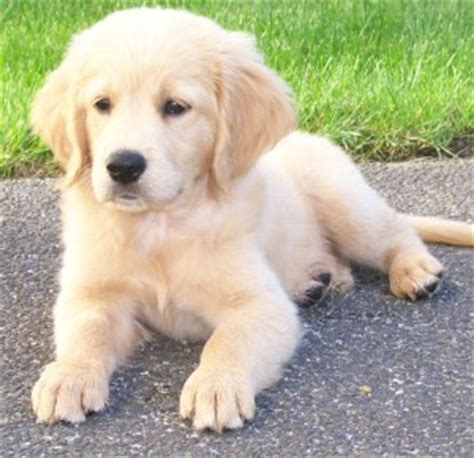 comfort golden retriever breeders opinions on retriever