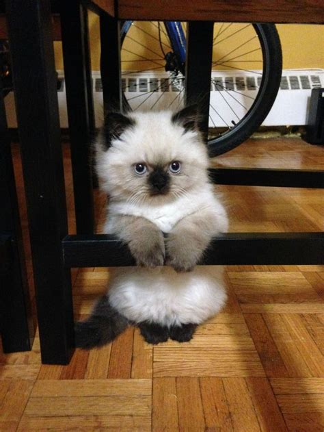 munchkin cats images  pinterest munchkin