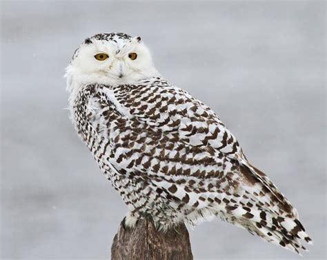 Snowy Owl Papercraft Museum - viewing snowy owls