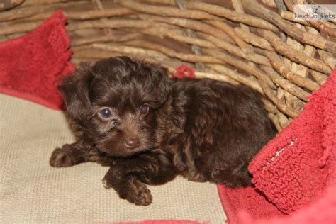 yorkie poo puppies louisville ky yorkie puppies for sale in kentucky breeds picture