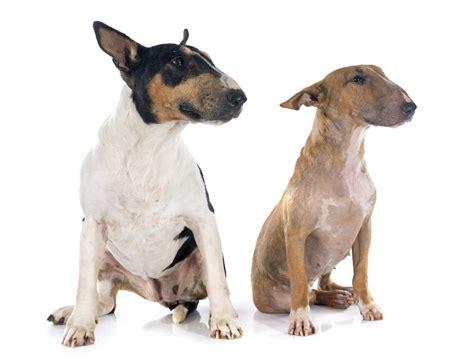 bull terrier bull terrier dogs breed information omlet