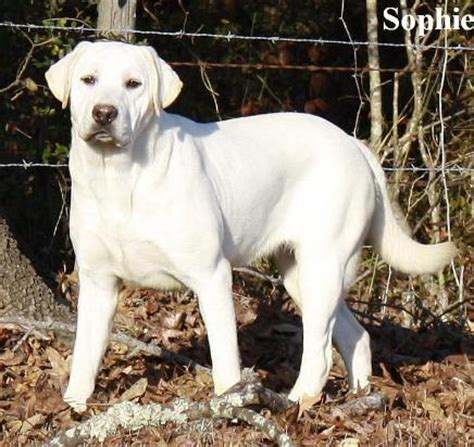 white lab puppies for sale white labrador retriever puppies for sale available white lab puppy