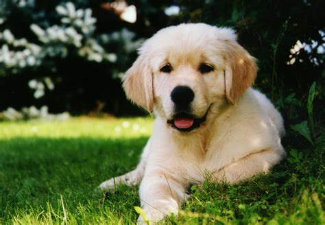 golden retriever and golden retriever animals backgrounds