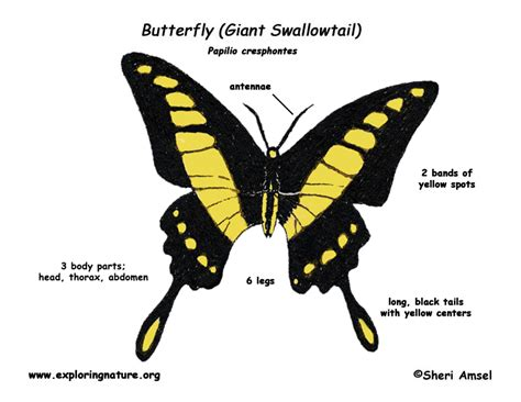 diagram of a butterfly butterfly swallowtail